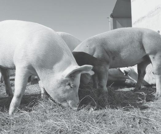 Вміст аміаку на фермі: допустимі дози та ефективні заходи контролю